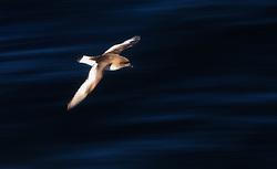 Antarctic Petrel (Thalassoica antarctica)