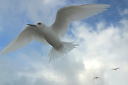 White Fair Tern, Gygii alba, Ducie Island, Pitcairn Group<br />