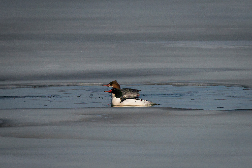 The common merganser is a large duck which lives near rivers and lakes of forested areas.  Common merganser's primary food source is fish.
