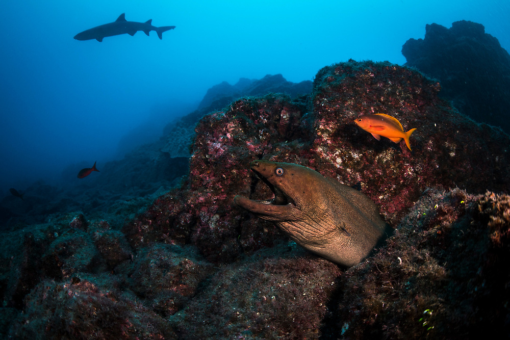 Two scary looking but misunderstood animals in one shot. A moray eel grins as it gets cleaned by a clarionfish, while a white-tipped reef shark swims by in the background. Photo taken at San Benedicto Island, Mexico
