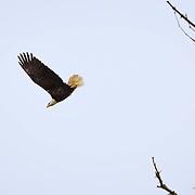 Bald Eagle gliding off tree