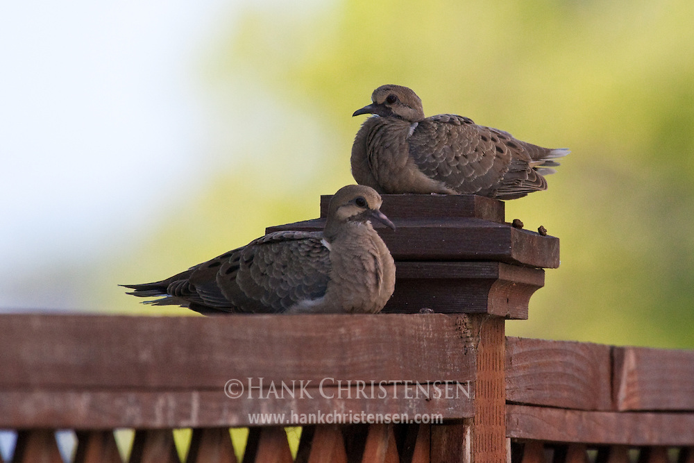 Two Mourning Doves sit atop a fence post