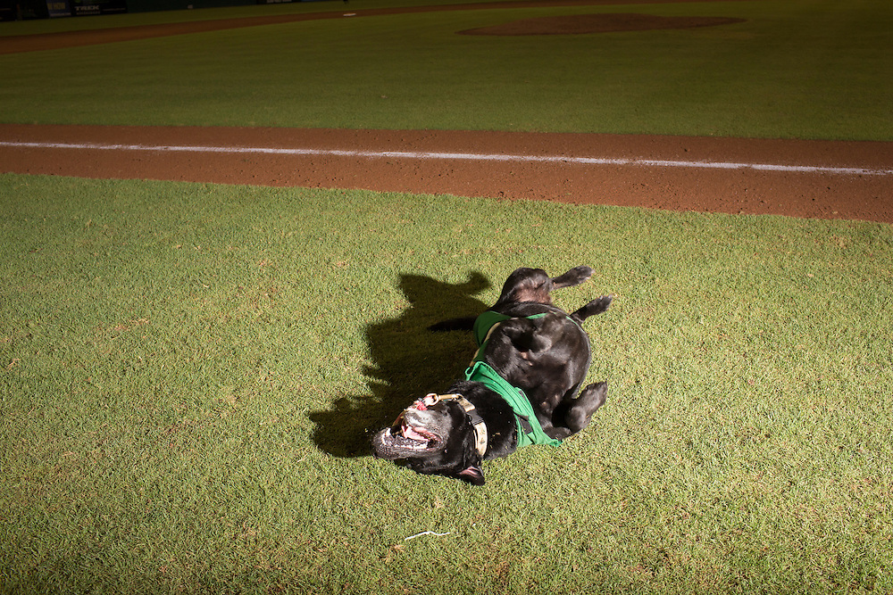 Miss Babe Ruth, a bat dogs for the Greensboro Grasshoppers rolls in grass following a game against the Hickory Crawdads at NewBridge Bank Park, Greensboro, North Carolina, Monday, June 21, 2014.