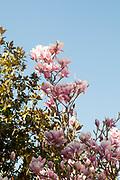 Magnolia (Magnolia x loebneri 'Merrill') flowers. Photographed at Parque del Buen Retiro, Madrid, Spain