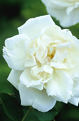 Rosa 'Madame Alfred Carrier' AGM