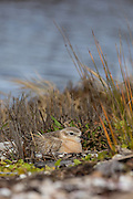 If the eggs of the New Zealand Dotterel are lost to predators, or to natural factors such as storms or big tides, the birds will re-nest up to four times in one season.