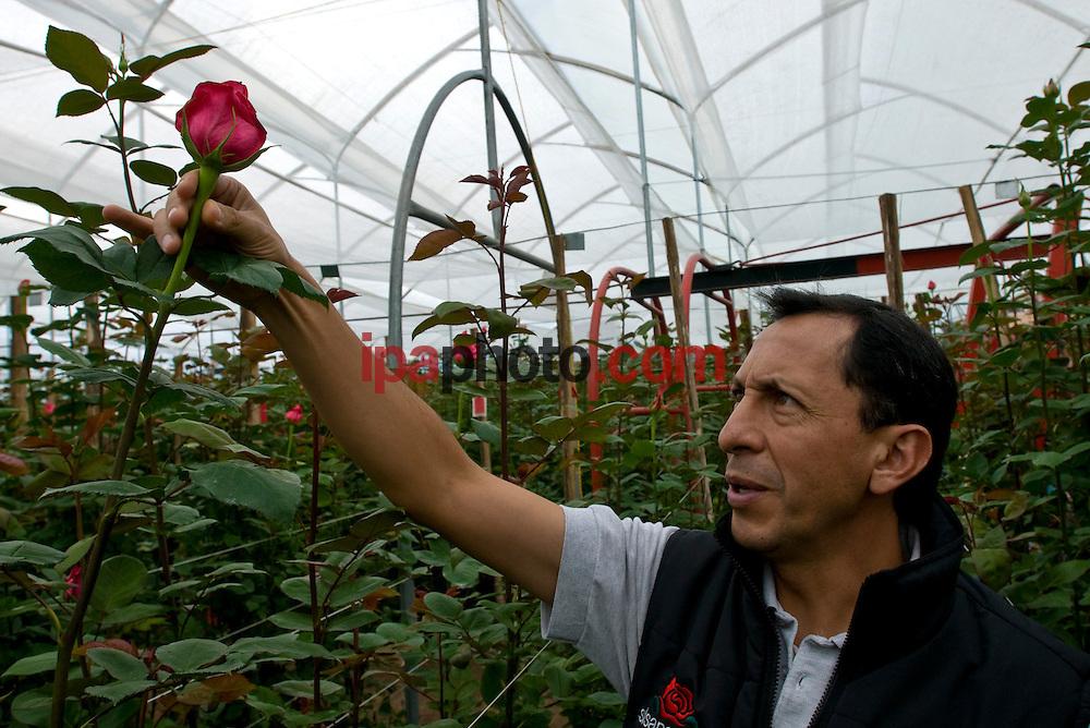 QUITO, ECUADOR, FEB/09/2009<br /> Roses production for Valentine Day in Ecuador February 09 2009. (Photo by IPAPHOTO.COM).<br /> <br /> QUITO, ECUADOR, FEB/09/2009<br /> Rodrigo Carrillo, Gerente T&eacute;cnico de la flor&iacute;cola Sisapamba, en la zona de Cayambe, a 80 km al norte de Quito, inspecciona la variedad de rosa Dark engagement que se comercializar&aacute; en la fiesta de San Valent&iacute;n. El Ecuador es uno de los principales exportadores de rosas en el mundo que se venden en el mercado Norteamericano, Europeo y Ruso. En San Valent&iacute;n las variedades de coloraci&oacute;n rojiza son las m&aacute;s apreciadas.  La siembran se realiza en las zonas andinas ecuatorianas y han obtenido una gran reputaci&oacute;n por su calidad. El clima ecuatorial andino, las hacen  competitivas en calidad y duraci&oacute;n. T&eacute;cnicos expertos mantienen que son las mejores rosas del mundo porque los cultivos se encuentran en la l&iacute;nea ecuatorial, con suelo volc&aacute;nico, rico en nutrientes y componentes qu&iacute;micos y f&iacute;sicos, donde la luminosidad promedia de 10 a 12 horas al d&iacute;a y las fincas productoras al estar a un nivel de 2.800 metros, permite que el tallo obtenga mayor tama&ntilde;o, mejor follaje y color intenso.  (Photo by IPAPHOTO.COM).