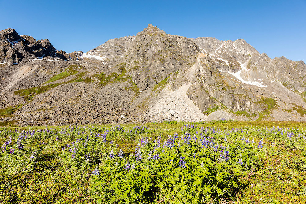 Field of Arctic Lupine (Lupinus arcticus) and Talkeetna Mountains in Archangel Valley at Hatcher Pass in Southcentral Alaska. Summer. Morning.