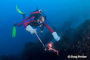 diver Bud Turpin samples erupting pillow lava at ocean entry of Kilauea Volcano, Hawaii Island ( the Big Island ) <br /> Hawaii, U.S.A. ( Central Pacific Ocean ) MR 381