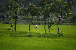 July 29, 2017 - Lalitpur, Nepal - A farmer works in a paddy field on the outskirts of Kathmandu, Nepal on Saturday, July 29, 2017. (Credit Image: © Skanda Gautam via ZUMA Wire)