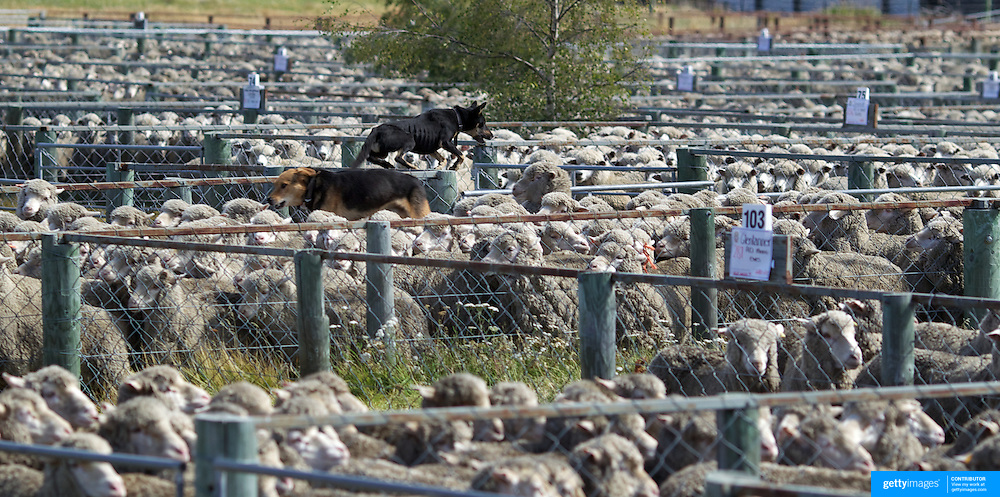 A sheep dogs helping to herd sheep during the New Zealand Farming and Horticulture, Sheep Sales, at Lake Tekapo in Mackenzie Country, South Island, New Zealand. 24th February 2011, Photo Tim Clayton.