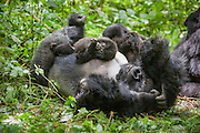 Mountain Gorilla<br /> Gorilla gorilla beringei<br /> 1.5 year old baby playing on silverback<br /> Parc National des Volcans, Rwanda<br /> *Endangered species<br /> *Digitally removed twig from foreground