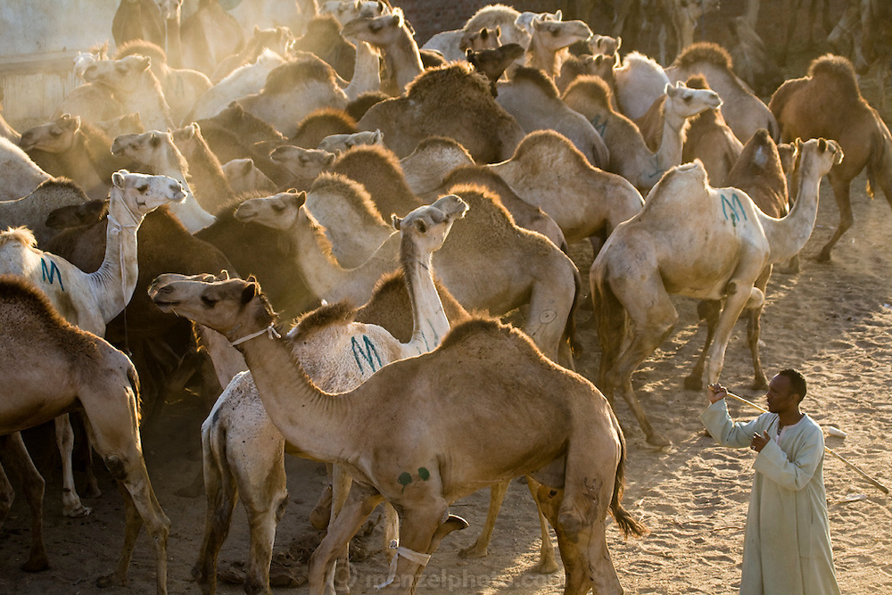 A broker drives a camel at the Birqash Camel Market outside Cairo, Egypt, where camel broker Saleh Abdul Fadlallah works. (Abdul Fadlallah is featured in the book What I Eat: Around the World in 80 Diets.)   Domesticated since 2000 BC, camels are used less as beasts of burden now, and more for their meat. Because they can run up to 40 miles per hour for short bursts, dealers hobble one leg when they are unloaded at the Birqash market. They are marked with painted symbols to make them easier for buyers and sellers to identify. Both brokers and camels have a reputation for being surly, and the brokers don't hesitate to flail the camels with their long sticks to maintain their dominance.