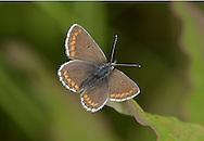 Northern Brown Argus - Aricia artexerxes - Durham Argus - N England race