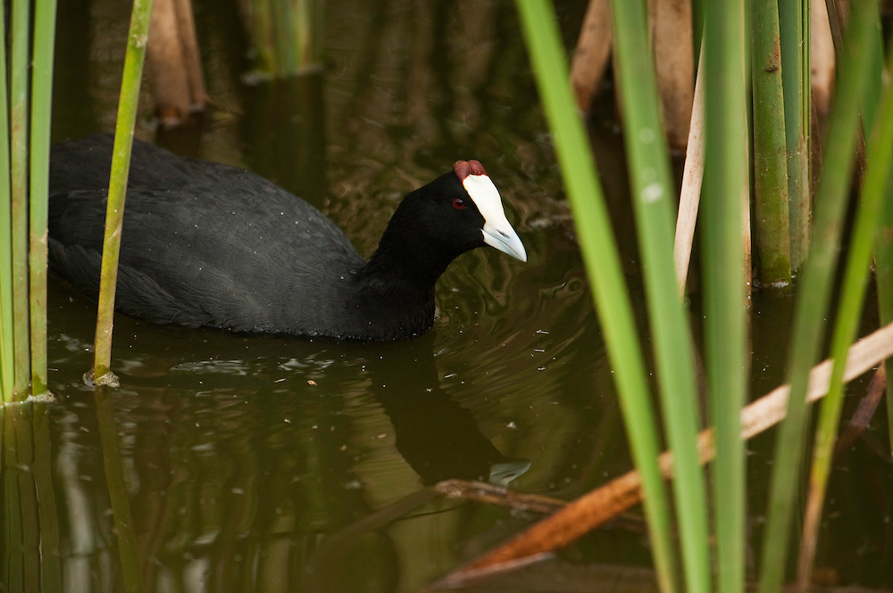 Red-knobbed Coot or Crested Coot (Fulica cristata)<br /> CAPTIVE, ENDANGERED SPECIES.<br /> Ca&ntilde;ada de los P&aacute;jaros Reserve where they have a breeding program.<br /> near Do&ntilde;ana National &amp; Natural Park. Huelva Province, Andalusia. SPAIN<br /> The marshlands in particular are a very important area for the migration, breeding and wintering of European and African birds. It is also an area of old cultures, traditions and human uses - most of which are still in existance.