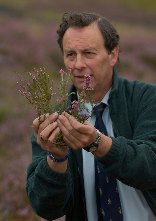 Ian McCall (Director Scotland Game Conservancy Trust) Inspects some heather at Glen Lethnot estate while gamekeepers make the final checks and preparations .in the build up  to the Glorious 12th, the official start of the red grouse shooting season (this year Monday 13th August)  ANGUS, SCOTLAND AUG 10 ..The Glorious Twelfth is usually used to refer to August 12, the start of the open season for grouse shooting in the United Kingdom. This is one of the busiest days in the shooting season, with large amounts of game being shot. It is also a major boost to the rural economy. ..Since the start of the season traditionally does not begin on a Sunday, it is sometimes postponed to August 13, as in 2001 . In recent years, the event has been hit by hunt saboteurs, the 2001 foot and mouth crisis (which further postponed the date in affected areas ) and the effect of sheep tick and the gut parasite Trichostrongylus tenius...The Game Conservancy Trust conducts scientific research into Britain's game and wildlife. Advising farmers and landowners on improving wildlife habitat and lobbying for agricultural and conservation policies based on science..Many of their  supporters take part in field sports.