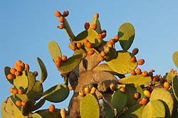 Cactus covered with prickly fruit against a blue sky