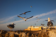 Sea gulls hover near the ramparts of Essaouira, Morocco. The old city is bathed in late day light just before sunset.  The city's medina has been named a UNESCO World Heritage site. The city lies on the Atlantic coast of Morocco in northern Africa. http://www.gettyimages.com/detail/photo/walled-city-of-essaouira-morocco-royalty-free-image/182986694