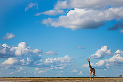 Southern giraffe (giraffa camelopardalis) walking beneath a cloudy Kalahari sky in the wet season, Kalahari, Botswana, Africa