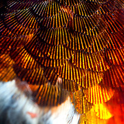 Scallop-shaped feathers on the throat of a Rufous hummingbird, part of our microphotography series. An average sized hummingbird has about 940 feathers, more feathers per square inch of their body than any other bird in the animal kingdom.