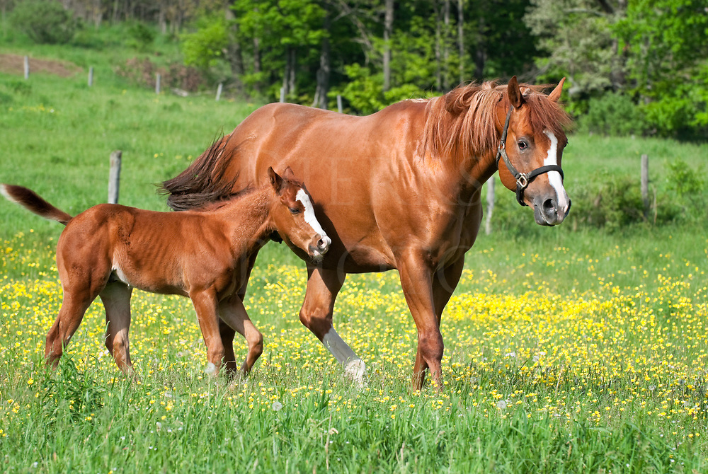 A quarter horse mare walking through a pasture of high grass and wildflowers and buttercups with her young foal staying right by her side.