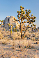 Joshua tree (Yucca brevifolia) and granite boulders, Joshua Tree National Park California