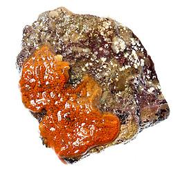Orange sheath, tunicate Botryloides aureum, found in the Atlantic Ocean in Rye, New Hampshire.