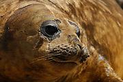 Southern Elephant Seal (Mirounga leonina) | See-Elefant (Mirounga leonina)