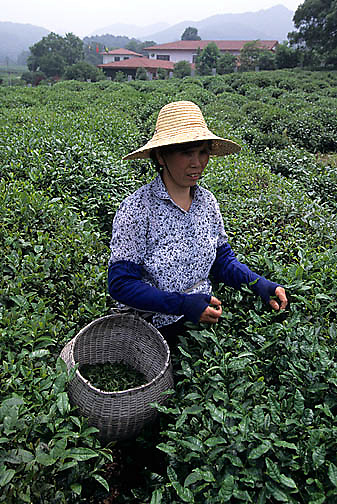 China, Agriculture, Woman farmer picking tea leaves near city of Hangzhou.