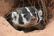 American Badger in Habitat
