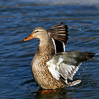Female Mallard Duck, Anas Platyrhynchos, flapping wings in water