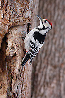 White-backed Woodpecker (Dendrocopos leucotos), Bieszczady National Park, Poland