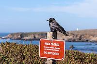 United States, California, San Simeon. American Crow.