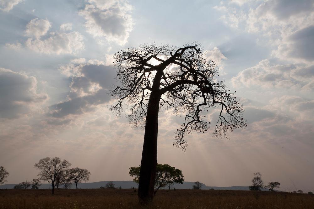 Verdelandia_MG, Brasil...Barriguda em Verdelandia, Minas Gerais...Silk-cotton tree in Verdelandia, Minas Gerais..Foto: LEO DRUMOND / NITRO