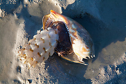 A bailer shell (Melo melo) with egg case on a sandbank at Augustus Island
