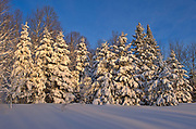 Coniferous (evergreen) trees on Brackenridge Road covered in snow<br />