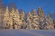 Coniferous (evergreen) trees on Brackenridge Road covered in snow<br />Bracebridge<br />Ontario<br />Canada