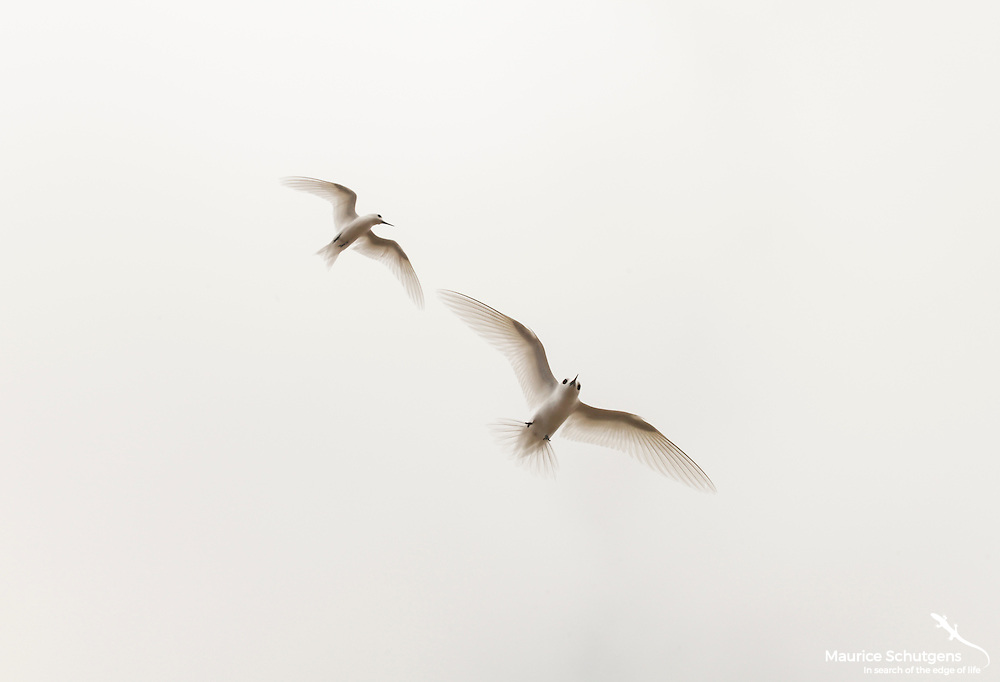 A couple of terns hanging in the air above Ascension Island.