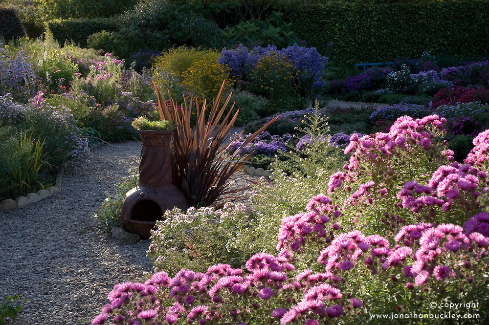 View of aster garden with Aster novae-angliae at Old Court Nurseries