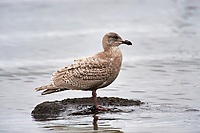 Glaucous-winged Gull (Larus glaucescens), Nanaimo, British Columbia, Canada   Photo: Peter Llewellyn