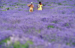 © Licensed to London News Pictures. 19/07/2018. Banstead, UK. Two women walk through a field of Lavender plants at Mayfield Lavender Farm in Banstead. Photo credit: Grant Falvey/LNP