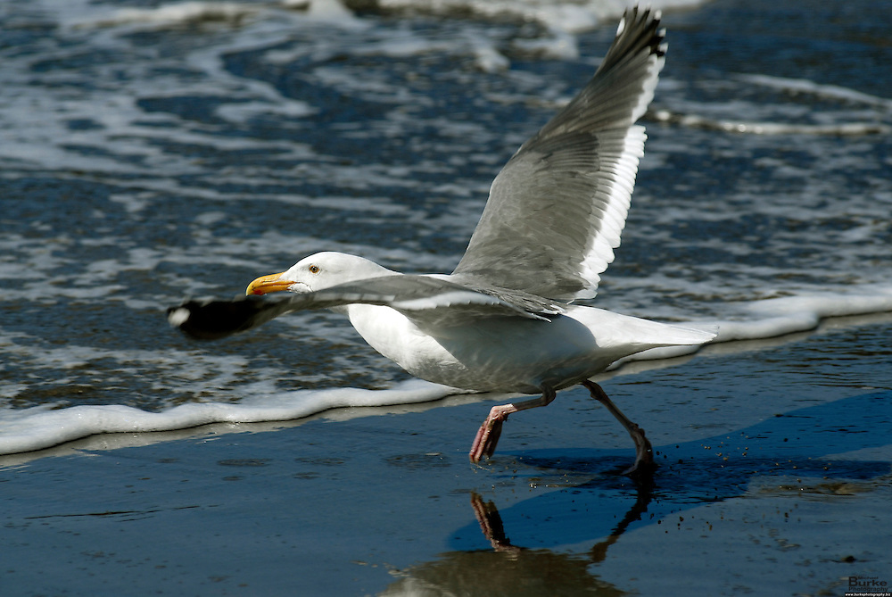The Pacific Ocean is a magical place.  Mendocino, California has a variety of beaches that are easy for the public to access where the birds free and the seagulls are plentyful.