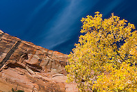 Golden autumn leaves and red sandstone cliffs of Zion National Park Utah USA