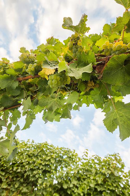 Looking up at Sauvignon Blanc grapes on the vine. Late summer, Marlborough.