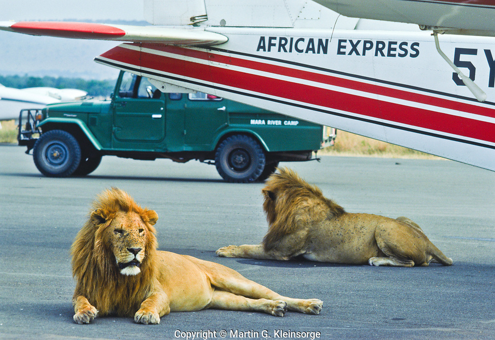 Male African lions (panthera leo)  lions are under a plane at the Masas Mara National Reserve air field.  Kenya