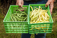 A gardener holds baskets of Green Beans and Yellow Wax Beans