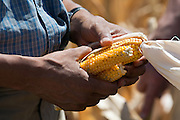 13.AUGUST.2012. MISSOURI VALLEY<br /> <br /> PRESIDENT BARACK OBAMA HOLDS EARS OF CORN AFFECTED BY THE DROUGHT DURING HIS TOUR OF THE MCINTOSH FAMILY FARM IN MISSOURI VALLEY, IOWA, AUG. 13, 2012.  <br /> <br /> BYLINE: EDBIMAGEARCHIVE.CO.UK<br /> <br /> *THIS IMAGE IS STRICTLY FOR UK NEWSPAPERS AND MAGAZINES ONLY*<br /> *FOR WORLD WIDE SALES AND WEB USE PLEASE CONTACT EDBIMAGEARCHIVE - 0208 954 5968*