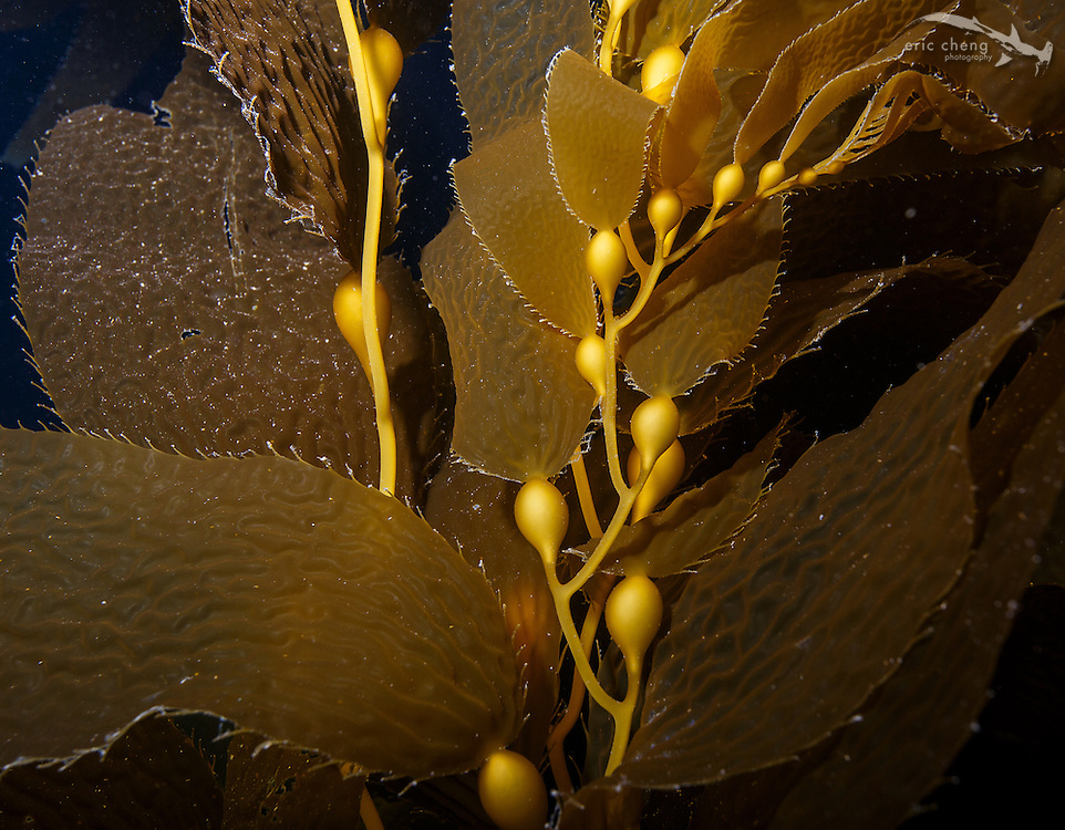 Kelp detail, Hen Rock, Catalina, Channel Islands, California