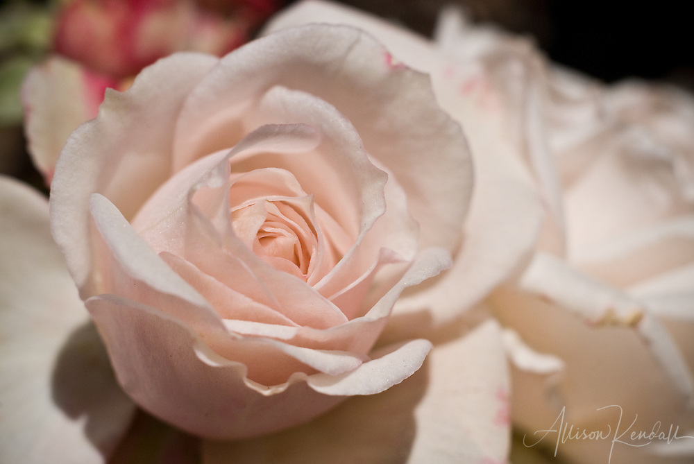 Soft pink rose petals open in delicate layers, in a sunny garden