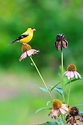 Goldfinch sitting on  cone flower, looking for his next meal.